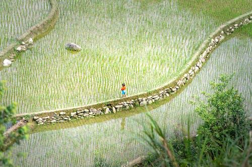Little boy standing on walkway on rice plantation