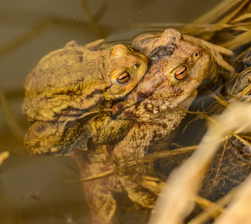 Frogs in Water