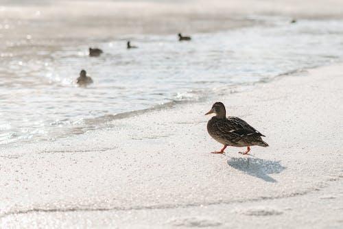 Free stock photo of animal, beach, beak