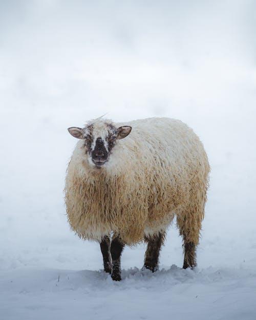 가축, 감기, 겨울의 무료 스톡 사진