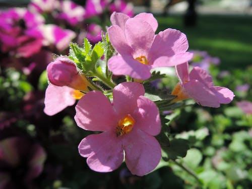Ilmainen kuvapankkikuva tunnisteilla aurinkoinen kukka, aurinkoinen pieni kukka, kukka, pieni kukka