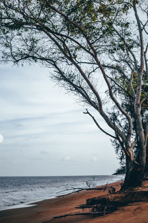 Tall trees growing on sandy seashore under cloudy sky