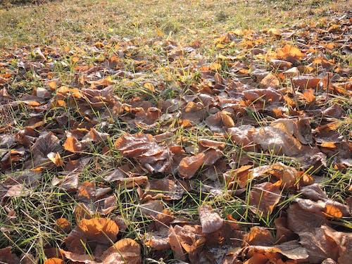 Ilmainen kuvapankkikuva tunnisteilla jauhettu, lehdet maahan, putoaminen, vanhoja lehtiä