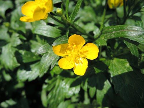 Ilmainen kuvapankkikuva tunnisteilla keltainen, keltainen kukka, kukka, makro