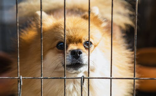 Long-coated Brown Puppy Inside Cage