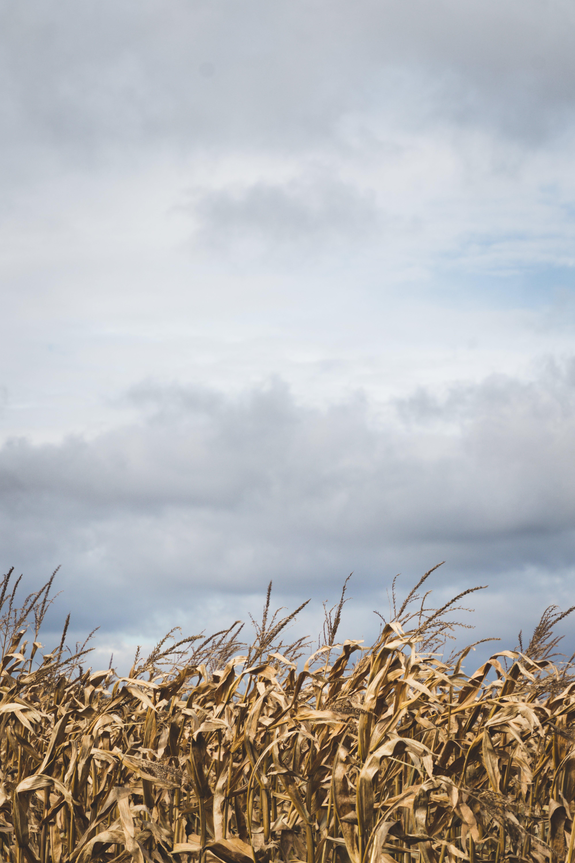 Corn Field Under Dark Sky