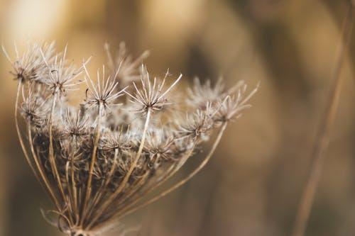 Immagine gratuita di ammi majus, autunno, cadere, crescita