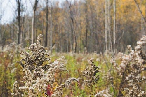 Immagine gratuita di erba, natura, verga d'oro