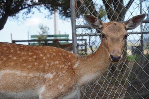 Free stock photo of animal farming, brown deer, deer