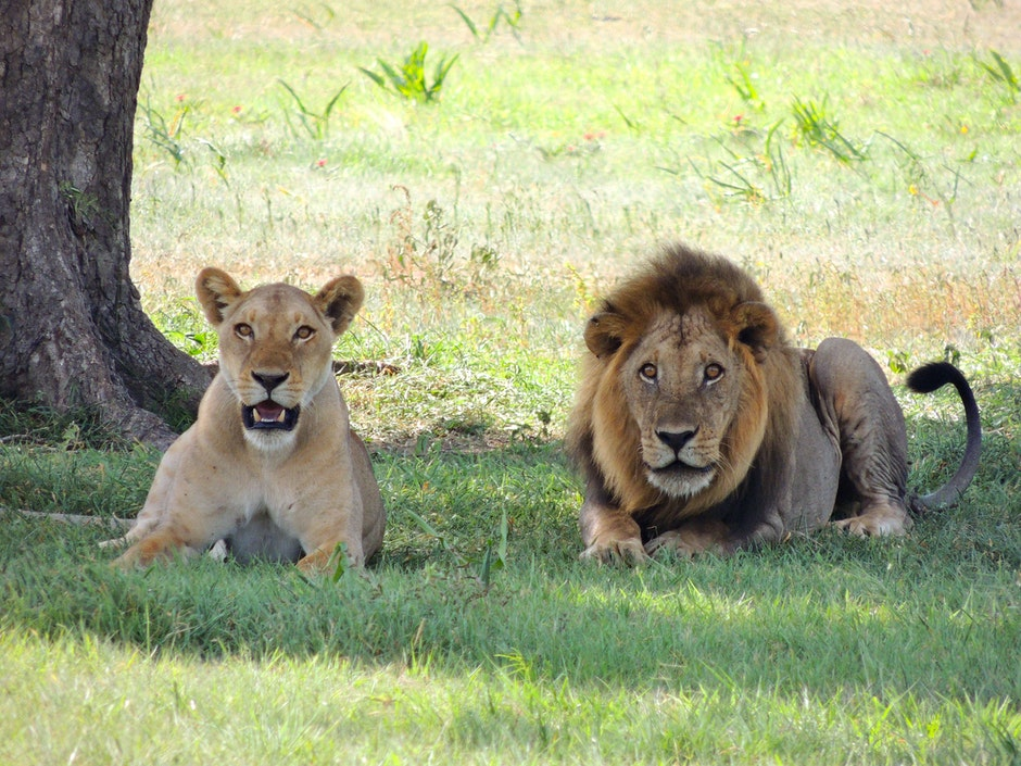 "<img src =""Lion and Lioness.png"" alt=""Wild Africa"">"