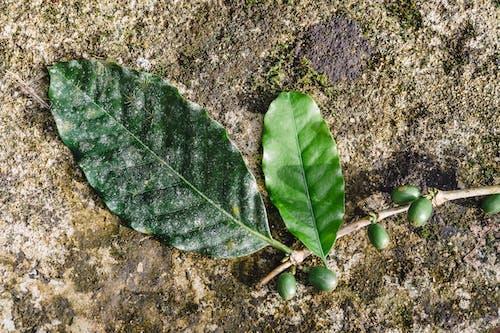 Free stock photo of amazon, coffee bean, coffee beans
