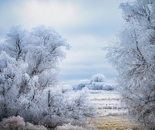 Snowy trees growing in nature