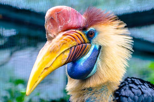 Red and Yellow Hornbill