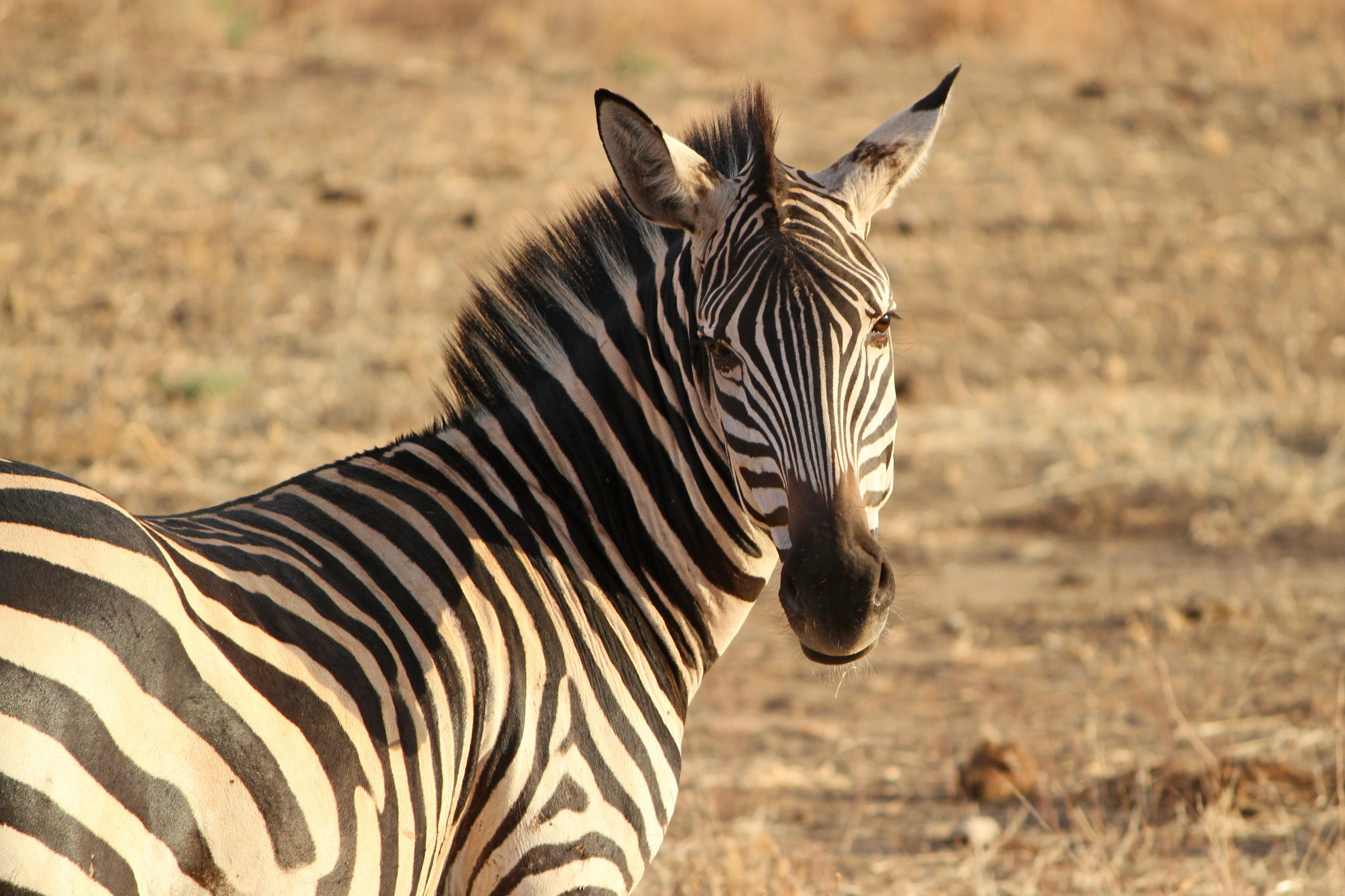 Black and White Zebra Standing during Daytime