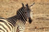 animal, africa, zebra