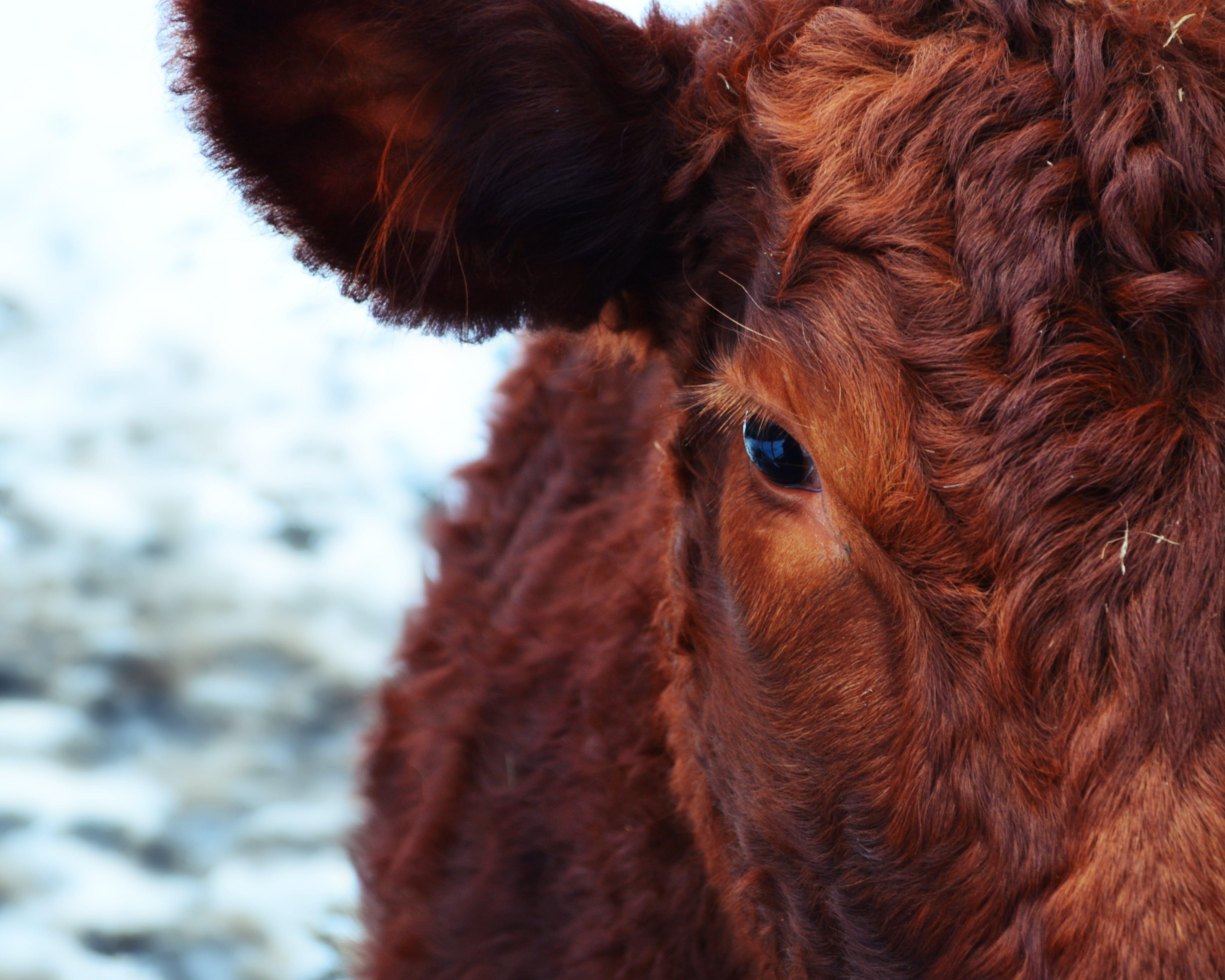 Základová fotografie zdarma na téma farma, fotografování zvířat, hnědá, hospodářská zvířata