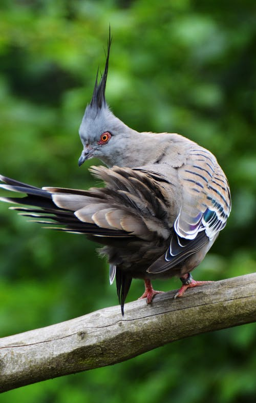 คลังภาพถ่ายฟรี ของ การถ่ายภาพสัตว์, กิ่ง, ตั้งอยู่, นกพิราบหงอน