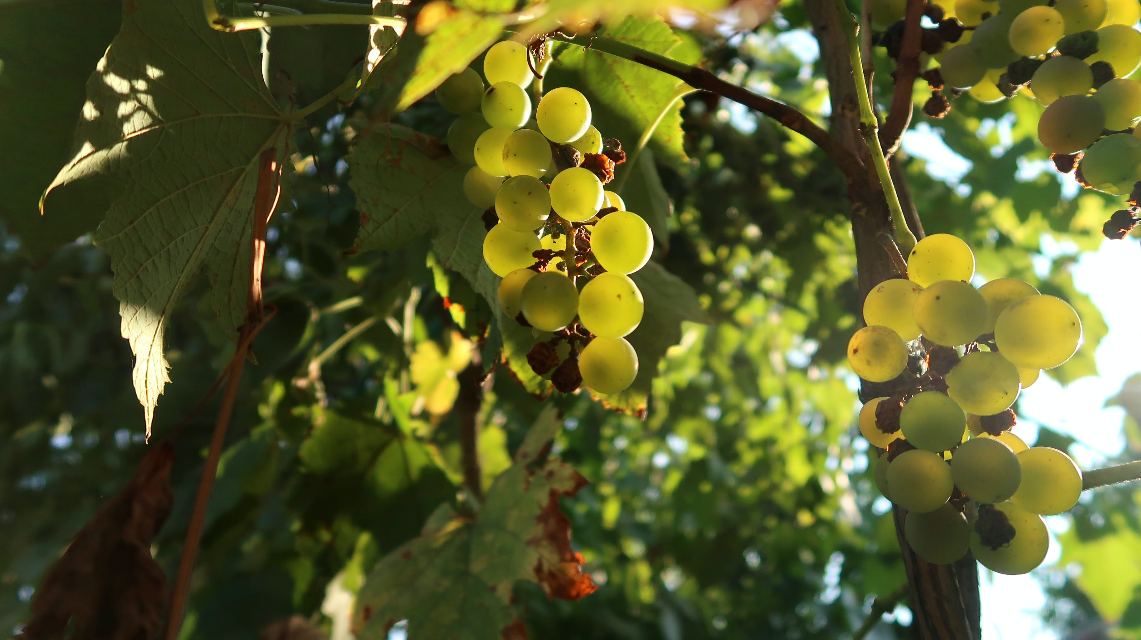 Free stock photo of grapes, nature, wine grapes