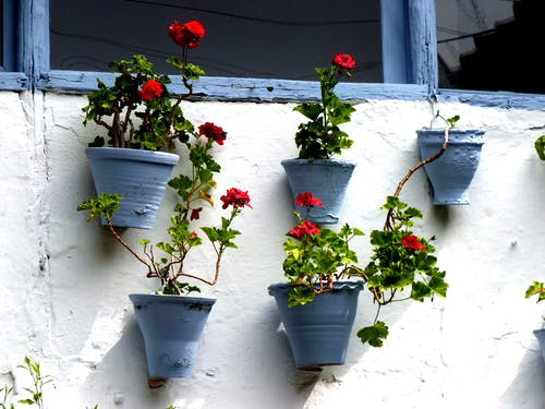 Red Petaled Flowers Near Blue Pot Hanging Near White Painted Wall