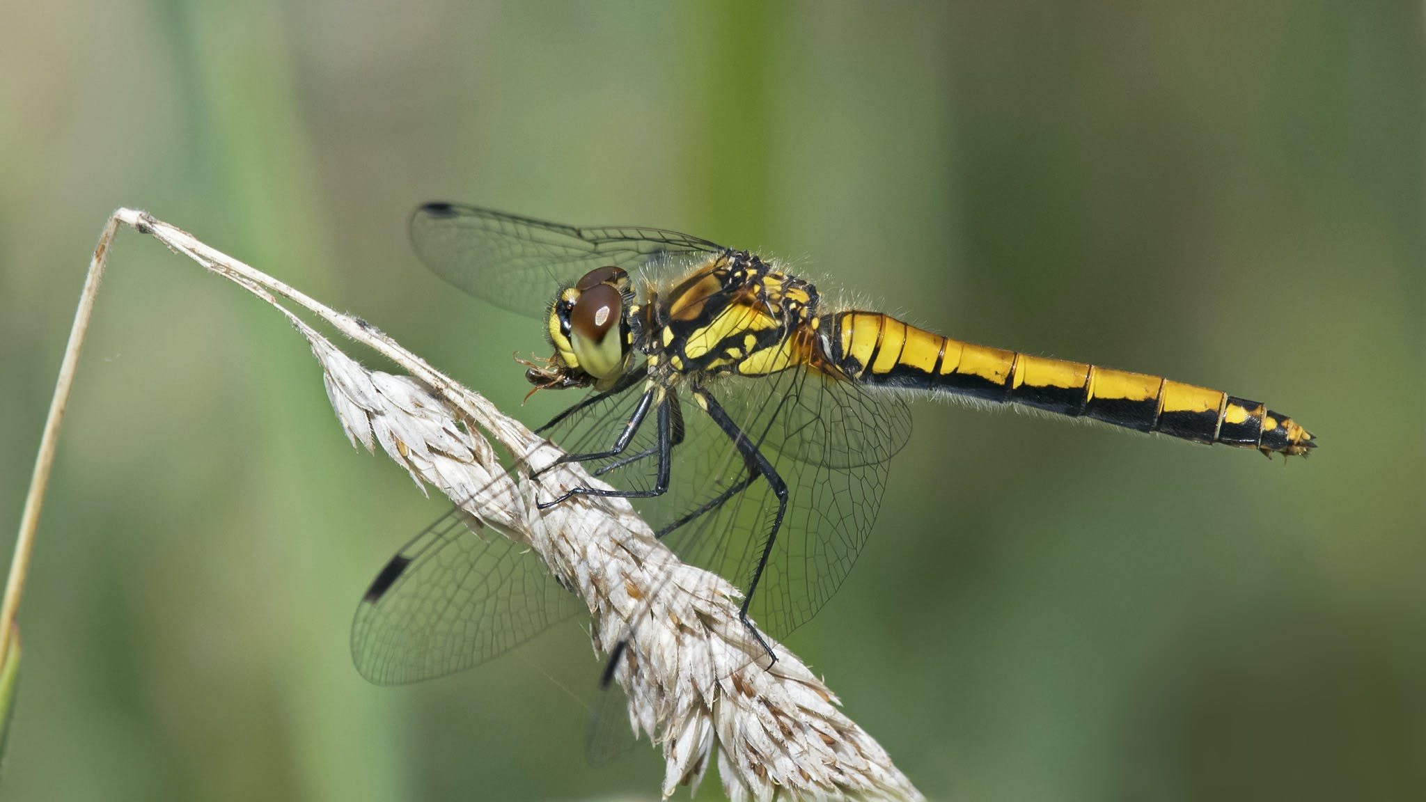 Free stock photo of Black Darter, dragonfly, eating, insect