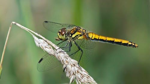 Foto d'estoc gratuïta de black darter, insecte, libèl·lula, menjant