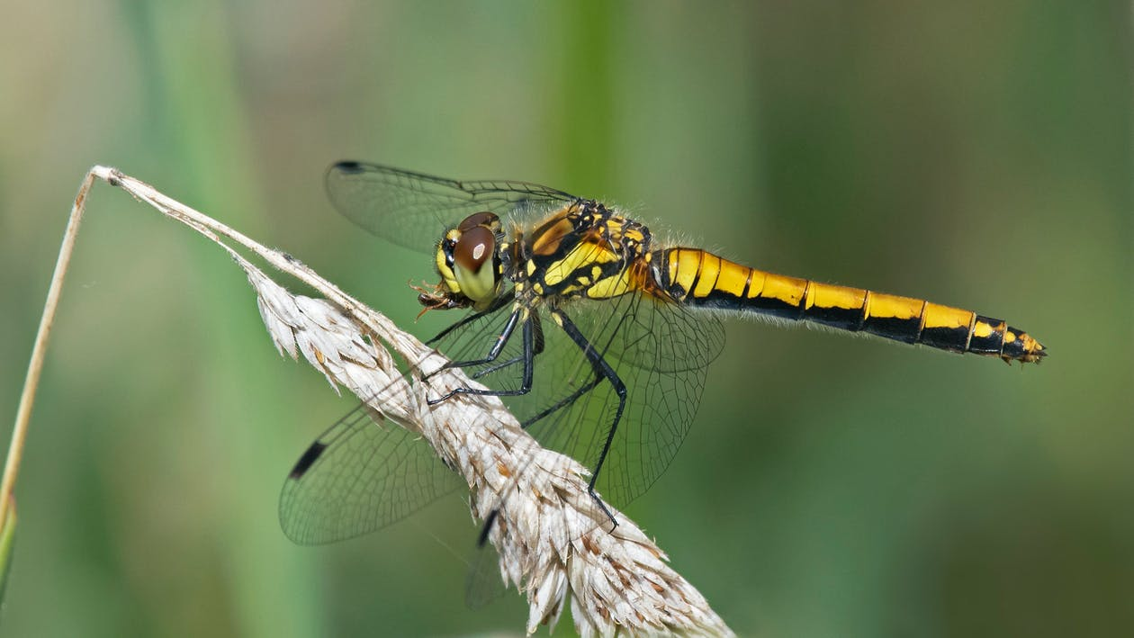 Free stock photo of Black Darter, dragonfly, eating