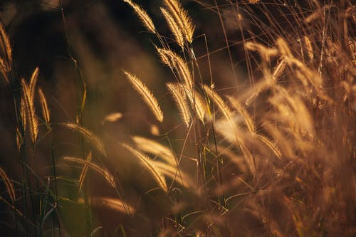 Gentle thin dry reed grass growing on rural field in countryside at sunset