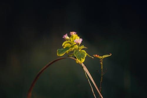 Tender small blooming Lantana involucrata flowers in sunlight