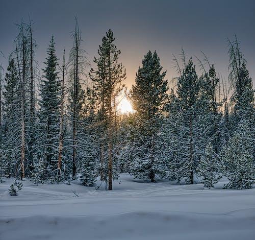 Imagine de stoc gratuită din arbori, arbori veșnic verzi, brad