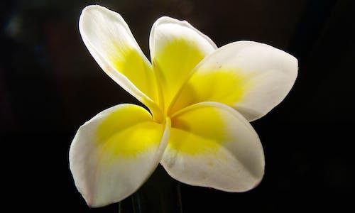 Foto profissional grátis de broto, flor, flora, frangipani