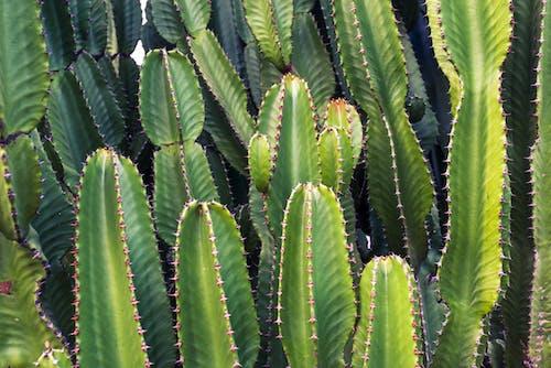 Gratis lagerfoto af grøn, kaktusser, natur, plante