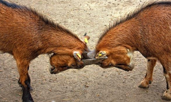 2 Horned Animal Crashing Each Other