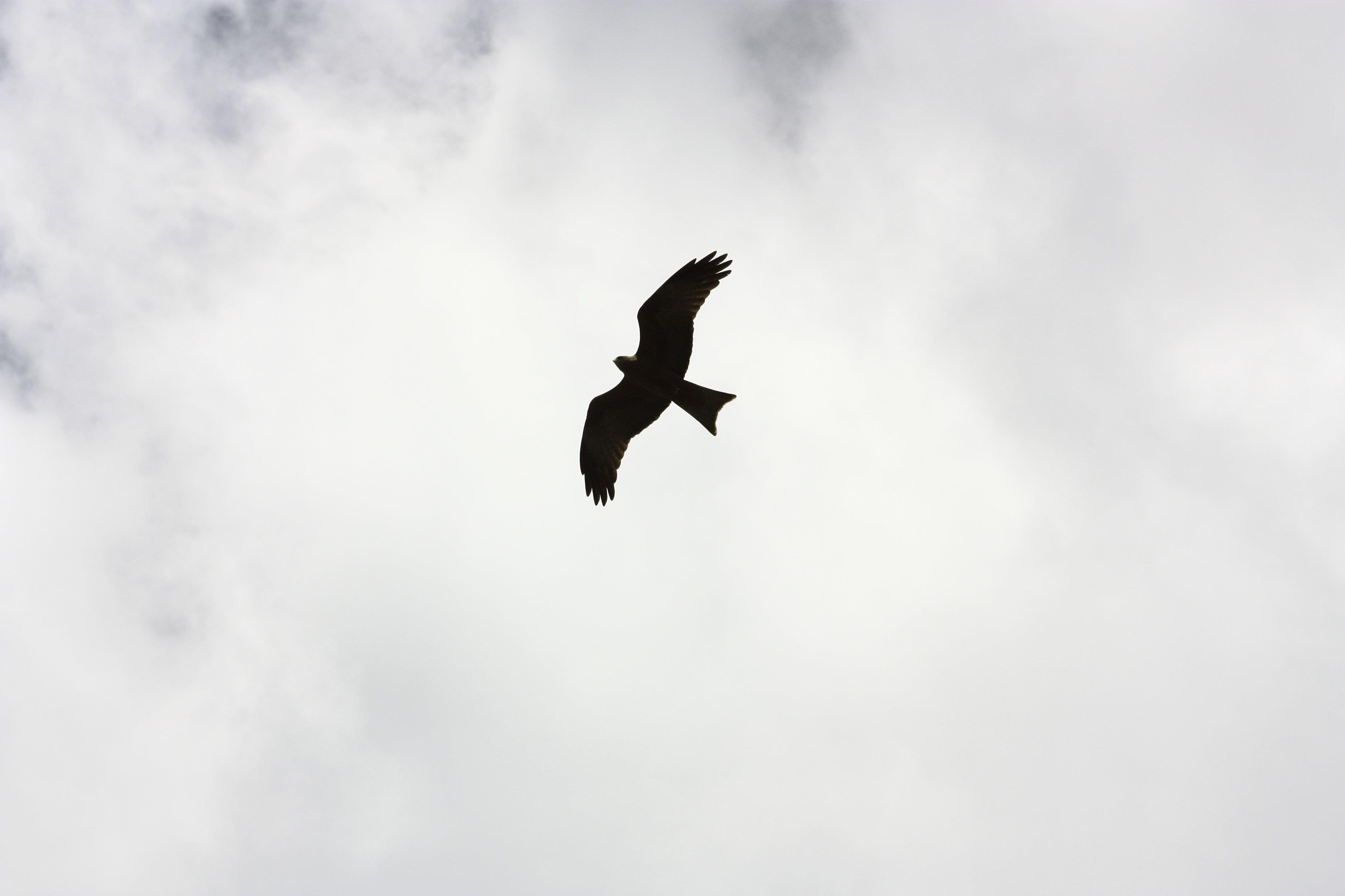 Kostenloses Stock Foto zu adler, draußen, federn, fliege
