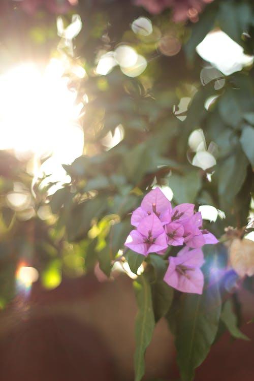 Bougainvillea Flowers in Bloom