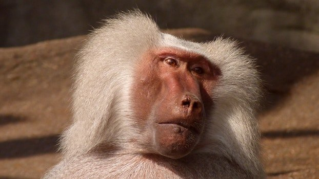 White Coated Baboon
