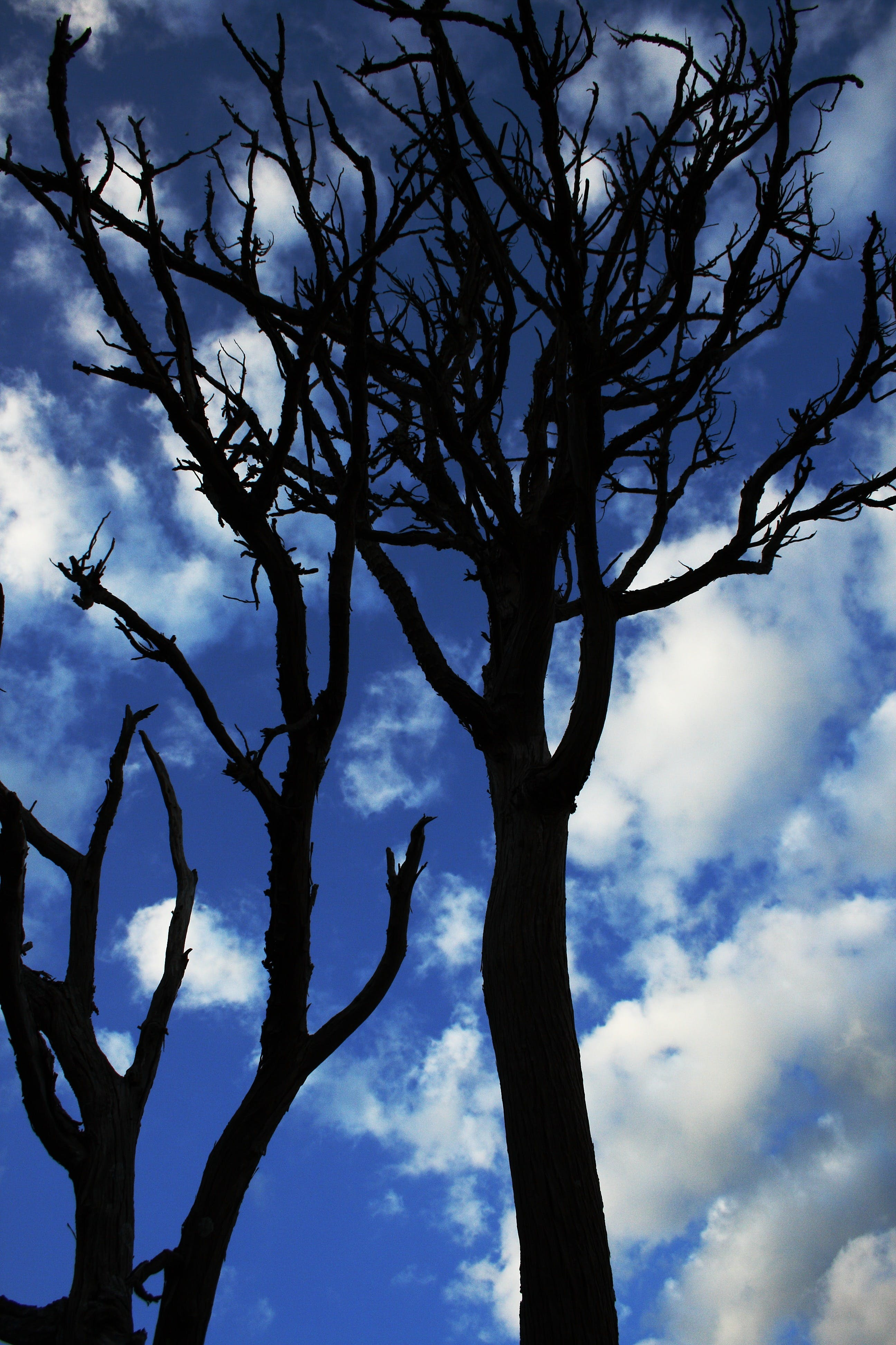 Dead Trees Under White Cloudy Blue Sky