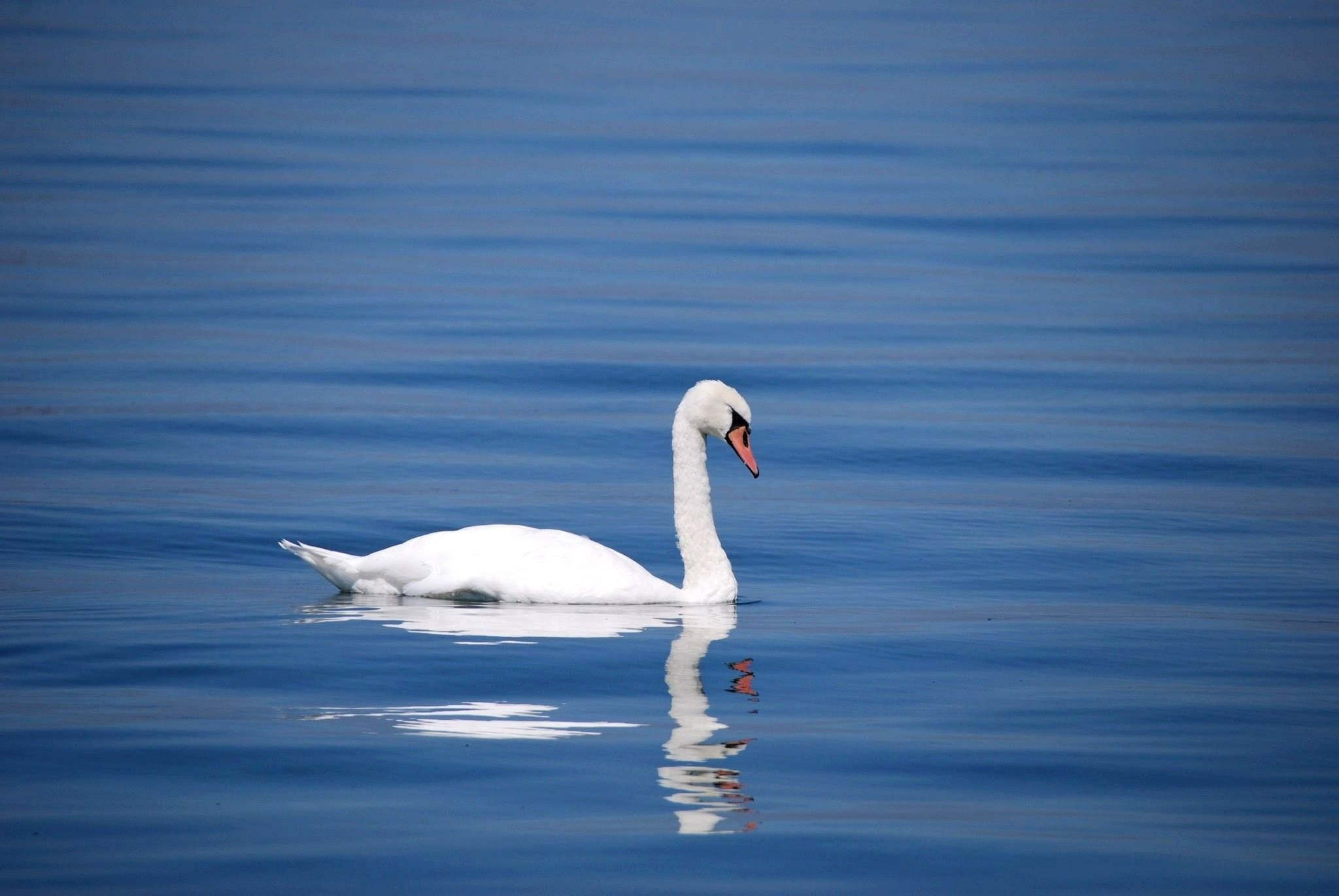 White Goose on Body of Water