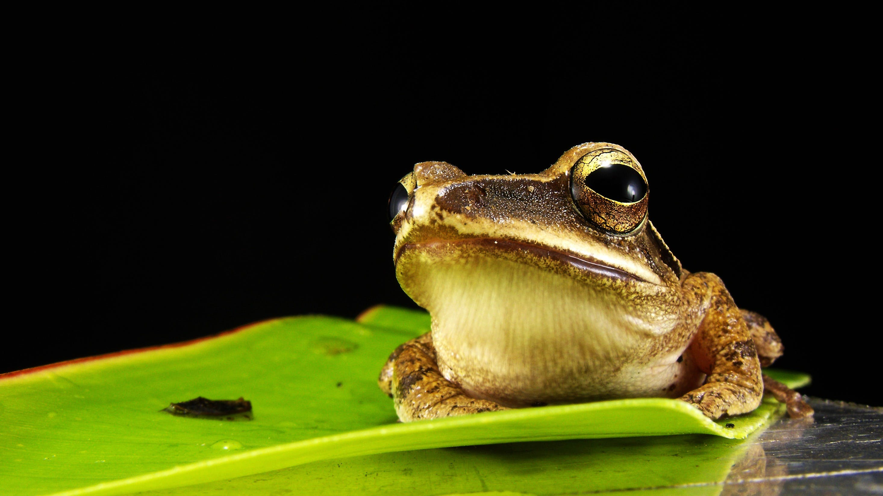 Brown and Gray Frog on Green Leaf