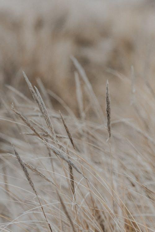 Photos gratuites de automne, blé, brise
