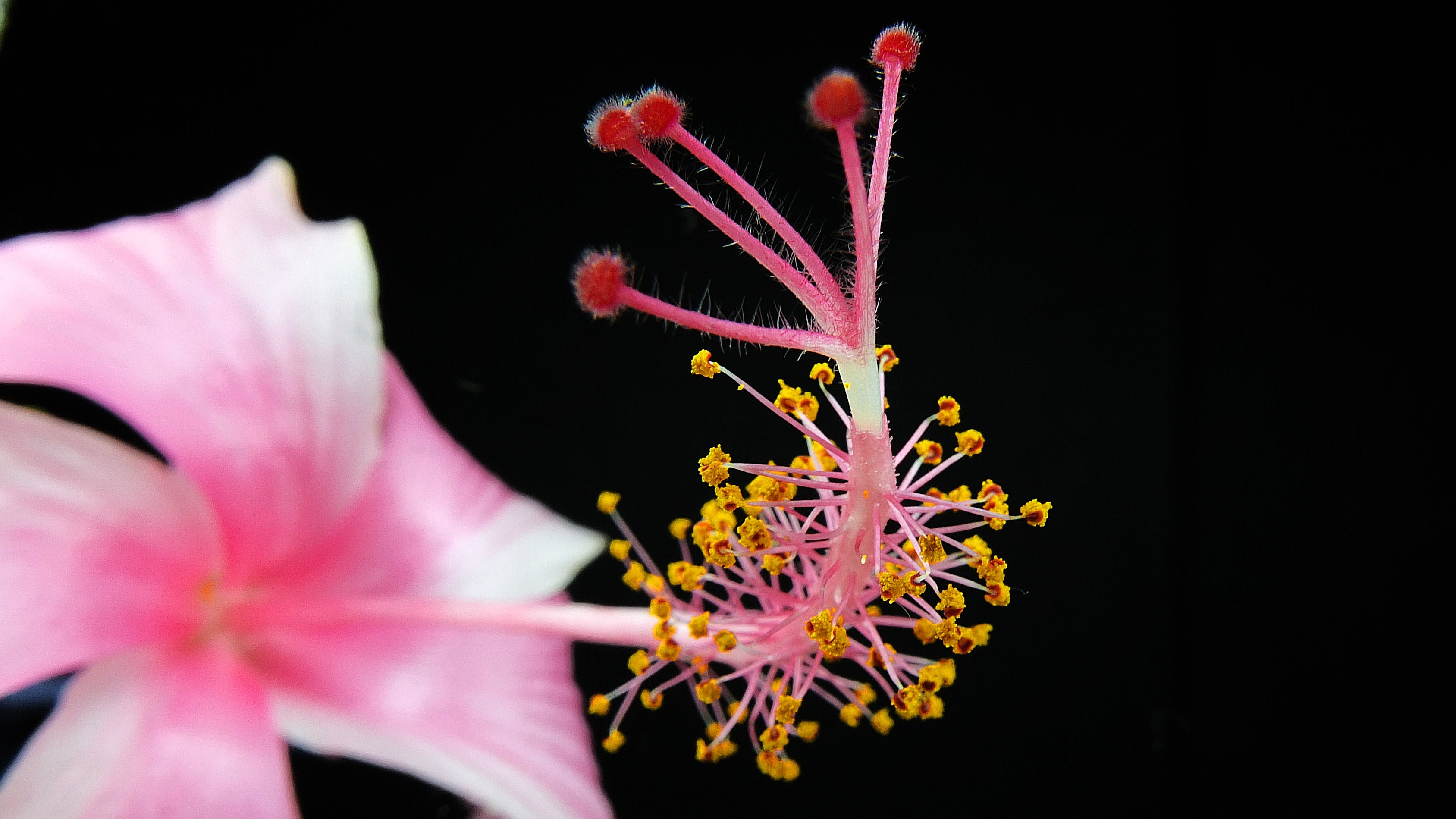 Pink Hibiscus Flower Close-up Photography