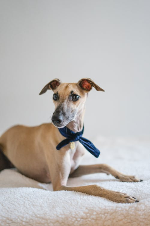 Brown Short Coated Dog With Blue and White Bowtie
