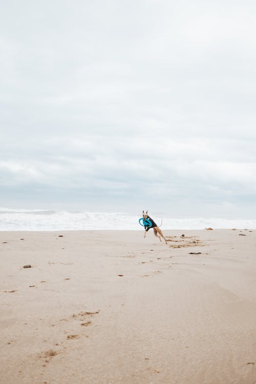 Dog holding toy in teeth while jumping on sand beach on cloudy day