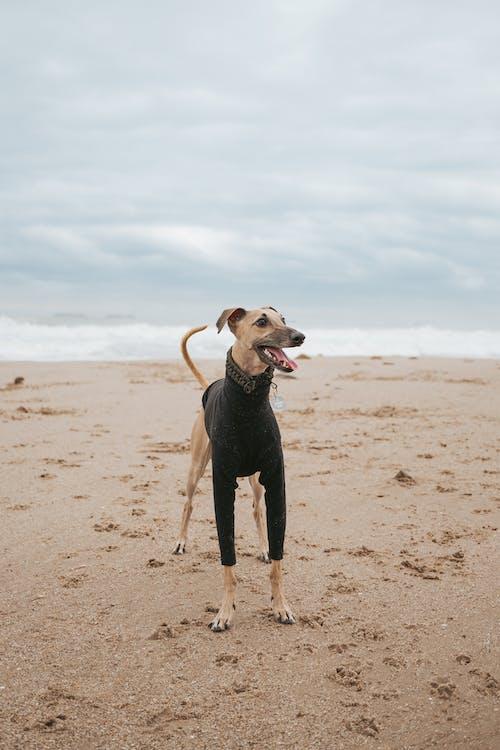 Brown Short Coated Dog on Brown Sand