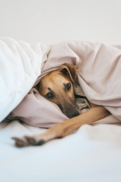 Brown and Black Short Coated Dog Covered With White Blanket