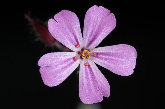 Purple 5 Petal Flower