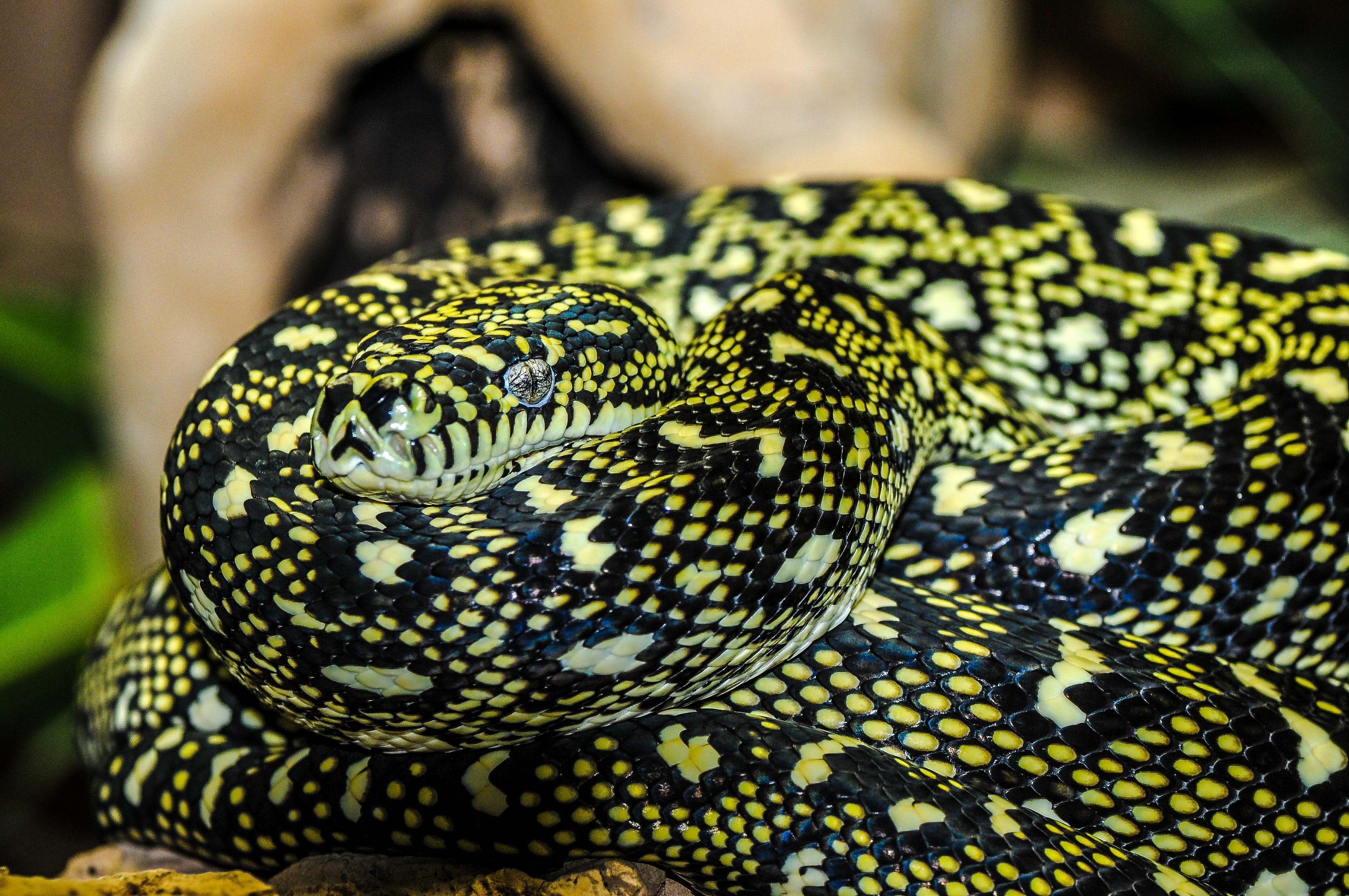 Yellow and Black Snake