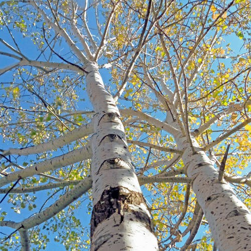 Foto stok gratis aspens, pohon