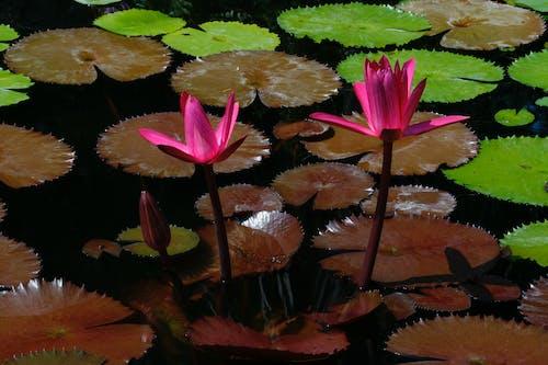Free stock photo of lotus flower