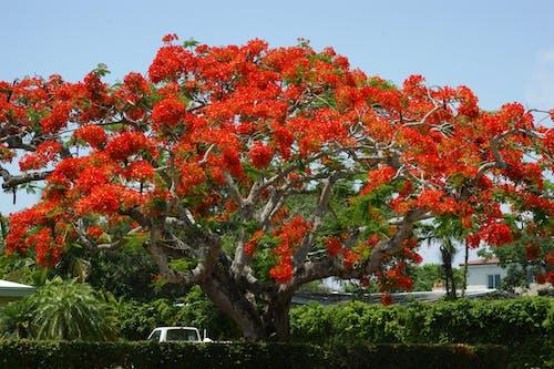 Free stock photo of flamboyan tree