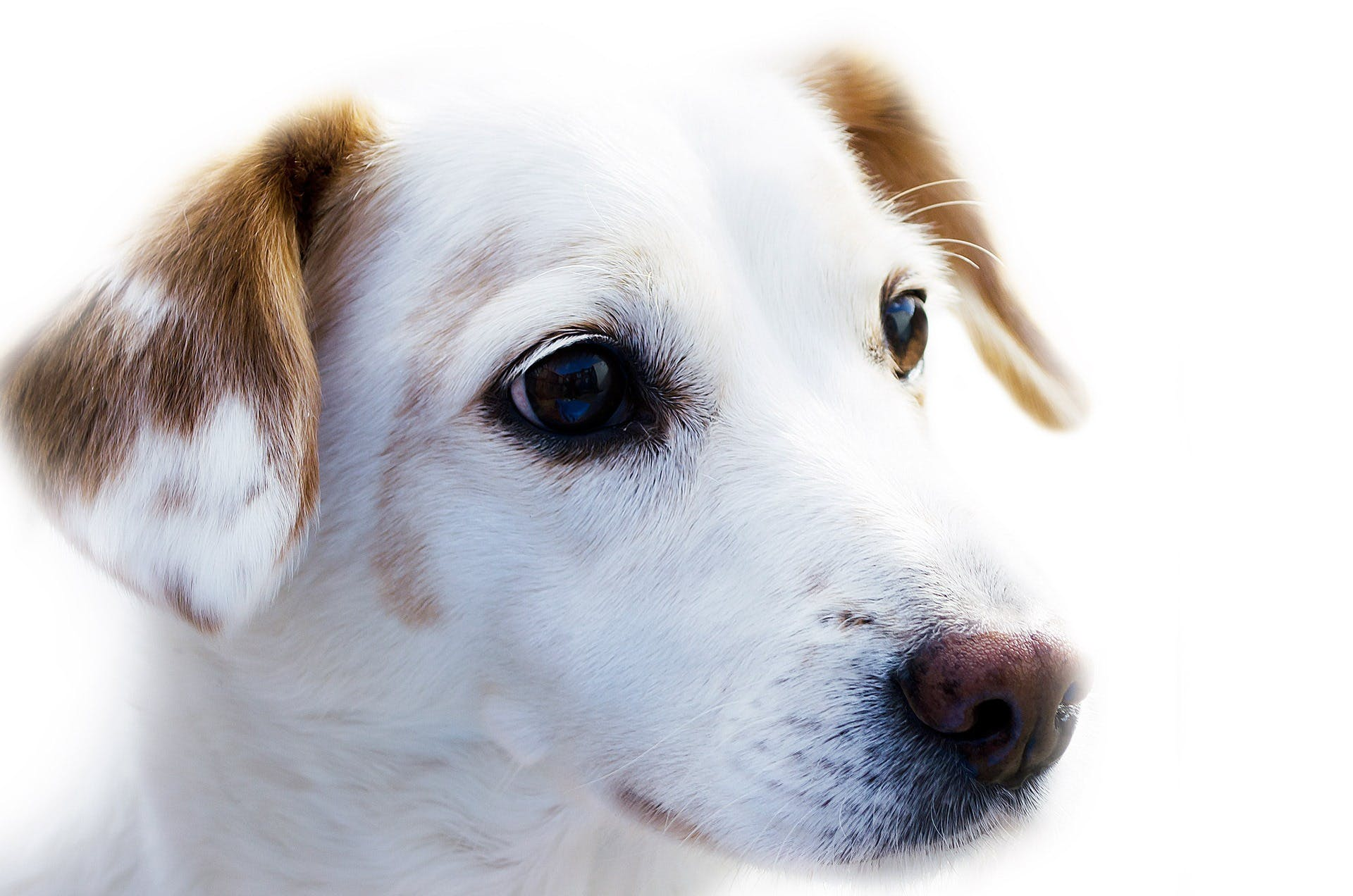 White and Brown Jack Russell Terrier Puppy Y